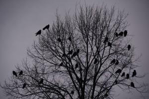 Krähen in Gemeinschaft