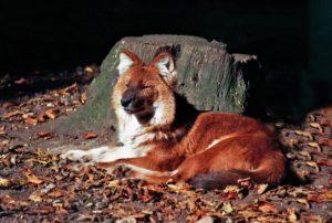 Fuchs ruht sich aus